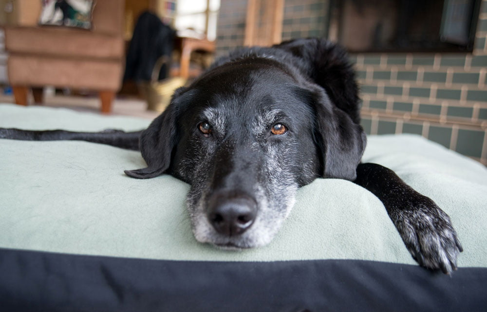 A black and white senior dog laying down on a dog bed
